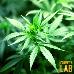 Marijuana Seeds Shipped Directly to Notre-Dame-des-Prairies, QC. Farmers Lab Seeds is your #1 supplier to growing Marijuana in Notre-Dame-des-Prairies, Quebec.
