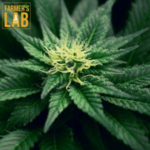 Marijuana Seeds Shipped Directly to Tarrant, AL. Farmers Lab Seeds is your #1 supplier to growing Marijuana in Tarrant, Alabama.