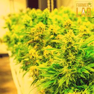 Marijuana Seeds Shipped Directly to Yellow River, GA. Farmers Lab Seeds is your #1 supplier to growing Marijuana in Yellow River, Georgia.