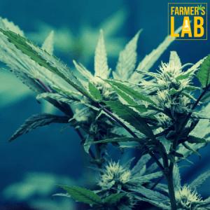 Marijuana Seeds Shipped Directly to Yuma, AZ. Farmers Lab Seeds is your #1 supplier to growing Marijuana in Yuma, Arizona.