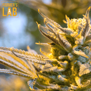 Weed Seeds Shipped Directly to Campbell River, BC. Farmers Lab Seeds is your #1 supplier to growing weed in Campbell River, British Columbia.