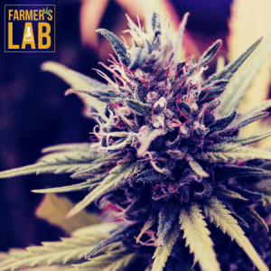 Weed Seeds Shipped Directly to Chestermere, AB. Farmers Lab Seeds is your #1 supplier to growing weed in Chestermere, Alberta.