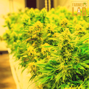 Weed Seeds Shipped Directly to Laramie, WY. Farmers Lab Seeds is your #1 supplier to growing weed in Laramie, Wyoming.