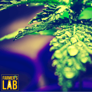 Weed Seeds Shipped Directly to Nappanee, IN. Farmers Lab Seeds is your #1 supplier to growing weed in Nappanee, Indiana.
