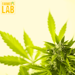 Weed Seeds Shipped Directly to Thurso, QC. Farmers Lab Seeds is your #1 supplier to growing weed in Thurso, Quebec.