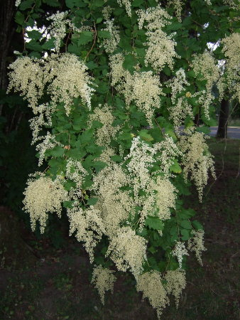 Cream Bush Holodiscus Discolor Farm Folly