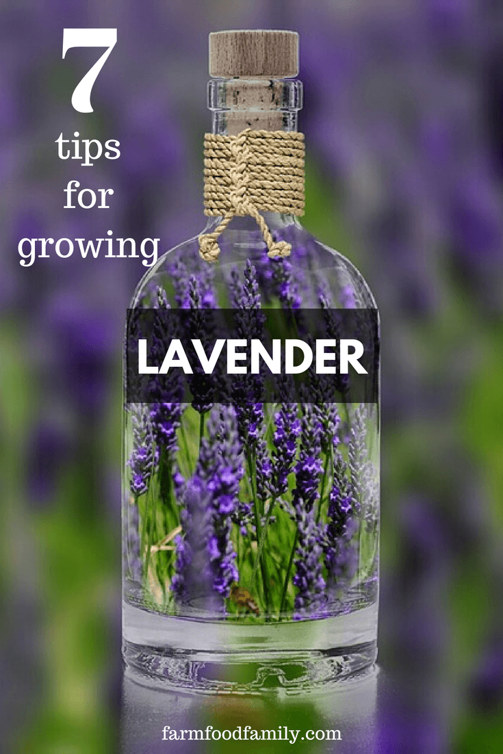 Lavender is well-known all around the globe for its beauty, fragrance, and medicinal properties. If you are looking for a plant to add to your summer garden, there is nothing better than lavenders.