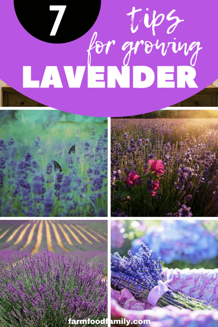 Check out 7 tips for growing lavender #lavender #gardeningtips #farmfoodfamily