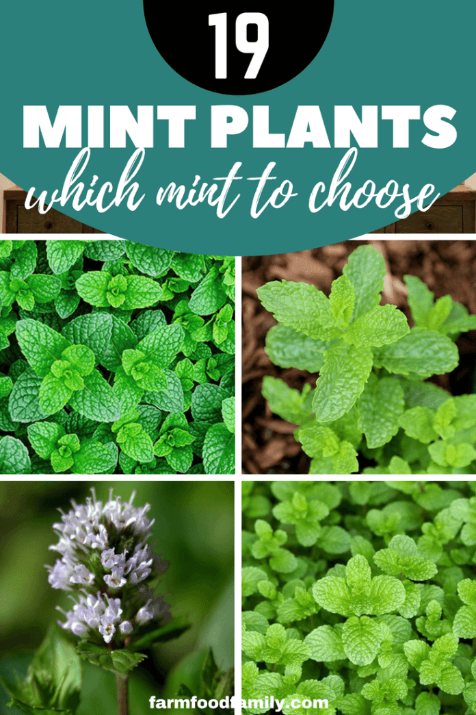 These are some of the more popular and commonly found mints — by no means an exhaustive list. #mint #gardeningtips #farmfoodfamily