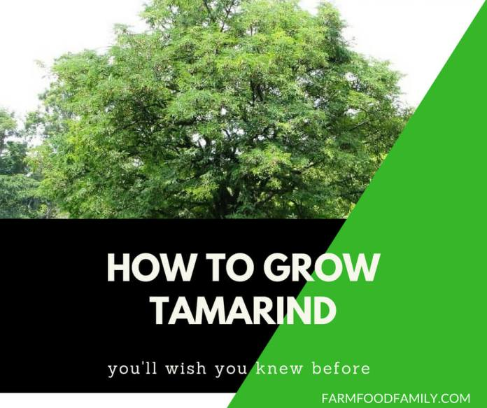 Tamarind benefits and how to grow tamarind