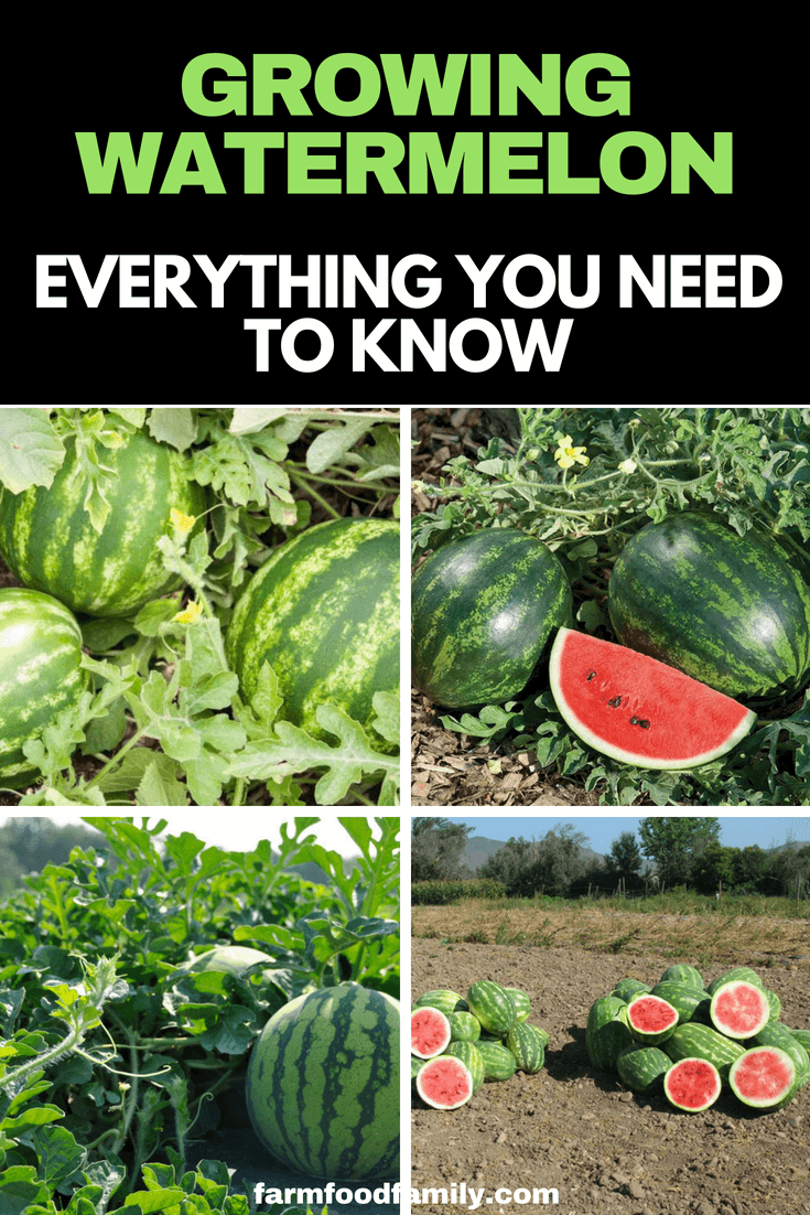 Most watermelons are ready to pick and eat when the stem of the fruit is dry and brown and the underside of the melon has changed color. When you are munching through the fruit, just be sure to put a few seeds aside from ripe heirloom varieties to plant again next season.