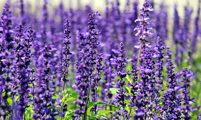 Lavenders are beautiful flowers with very sweet and pleasant smell that is hated by insects and pests especially mosquitoes and spiders.