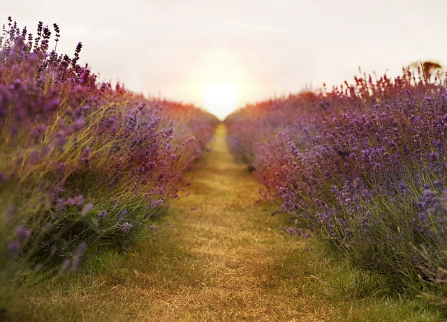 Just like us, lavender likes its space. Do not plant two plants too close to each other. They need good air circulation to grow and thrive.