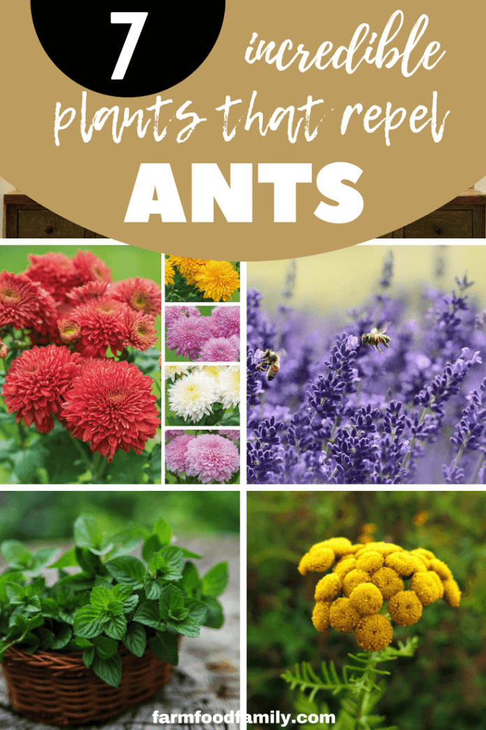 This article tells how to keep your garden healthy and blooming. Various insects like ants can kill your favorite garden, so make sure to have some flowering plants or herbs in your garden to make it look pretty, useful and ant-proof.