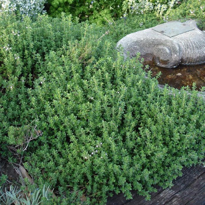 Thyme is one of the slow growing and sun-hugging herbs that ants do not care.
