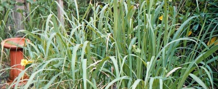 Perennial Herbs: 9 Herbs That Grow In The Heat - LEMONGRASS, WEST INDIAN LEMONGRASS, CYMBOPOGON CITRATUS