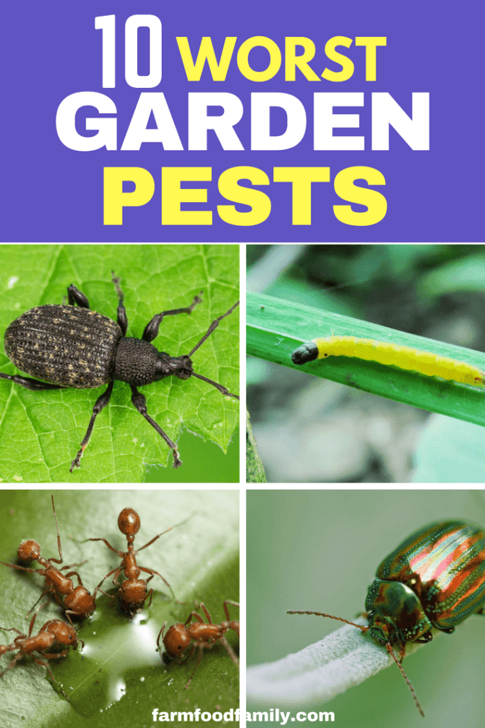Here are the top 10 worst garden pests, in order of their persistence in gardens, and how to control them. #gardenpests #gardeningtips #farmfoodfamily