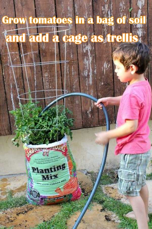 Grow tomatoes in a bag of soil and add a cage as trellis | Clever Gardening Ideas on Low Budget