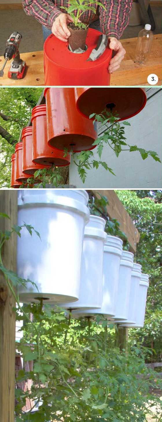 Growing tomatoes upside down can greatly increase the amount of tomatoes in a limited space | Clever Gardening Ideas on Low Budget