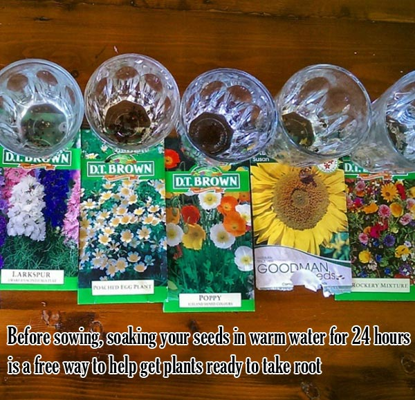 Before sowing, soaking your seeds in warm water for 24 hours is a free way to help get plants ready to take root | Clever Gardening Ideas on Low Budget