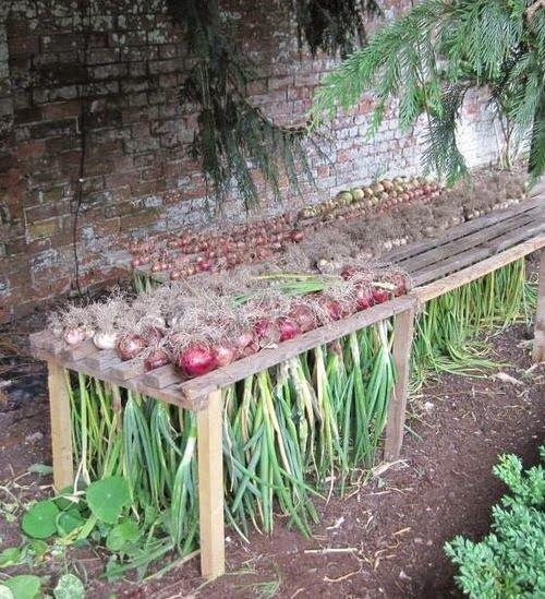 How to Harvest Onions When your onions finish developing | Clever Gardening Ideas on Low Budget