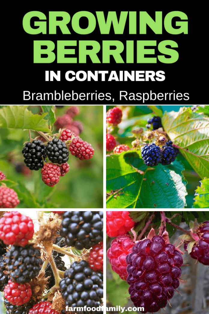 Growing Berries in containers (Brambleberries, Blackberry, Loganberry, Boysenberry, Youngberry, Keriberry,  Rasberries)