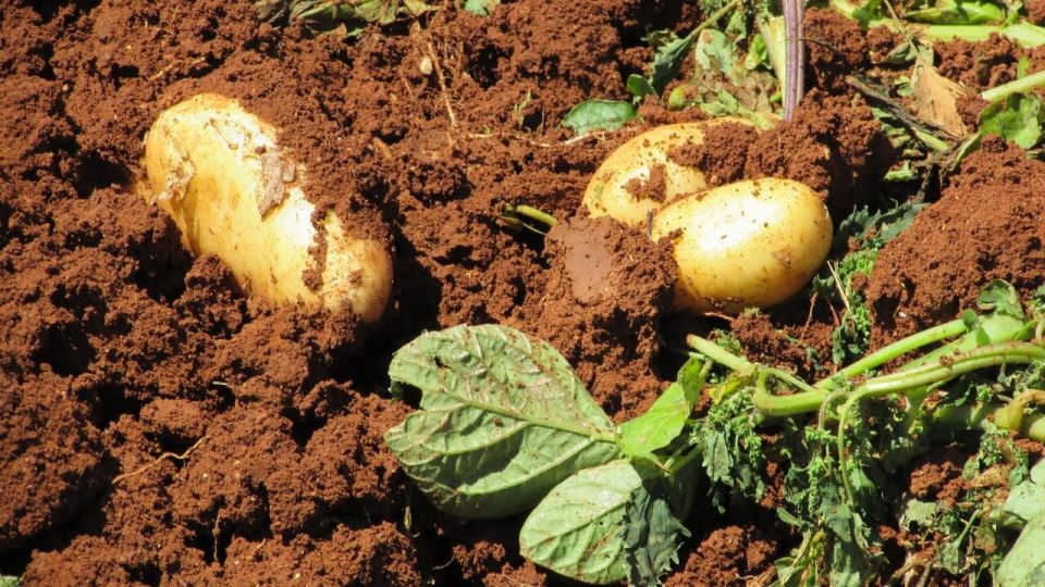 How to grow potatoes step by step