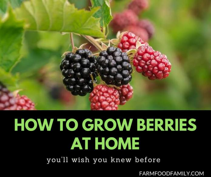 How to grow Berries at home in containers
