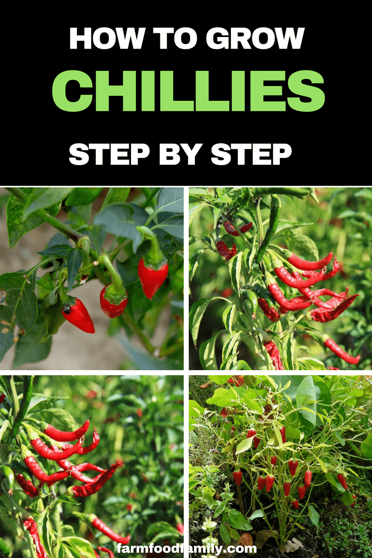 How to grow Chillies from seeds step by step #gardeningtips #farmfoodfamily