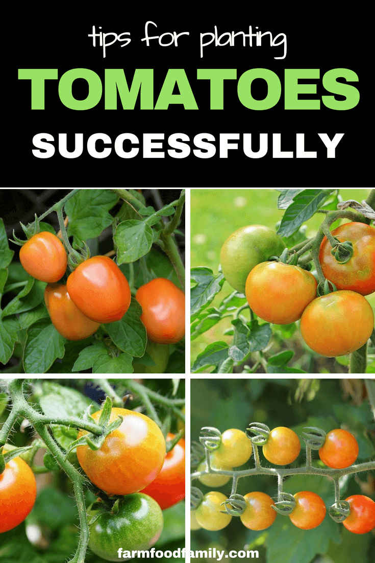 Tips for planting Tomatoes Successfully