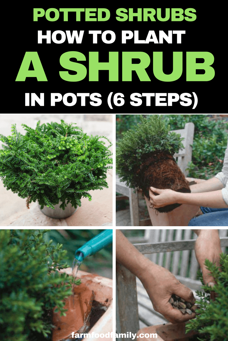 Potted Shrubs: How to plant a shrub in pots (6 steps) #containergarden #potted #gardeningtips #farmfoodfamily