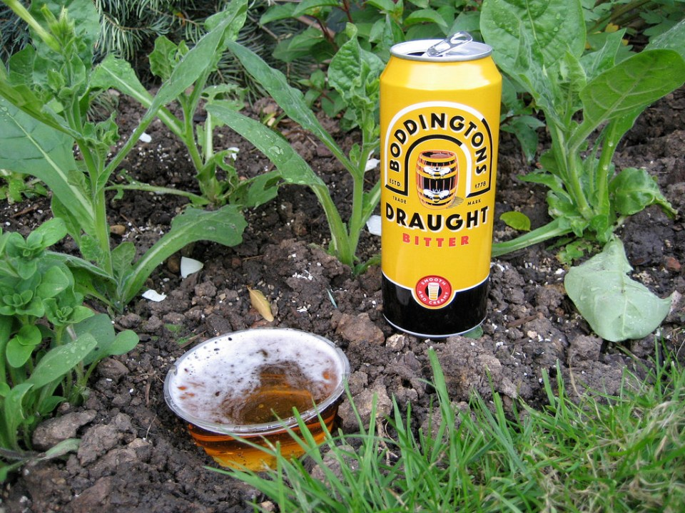 Beer traps to kill slugs and snails