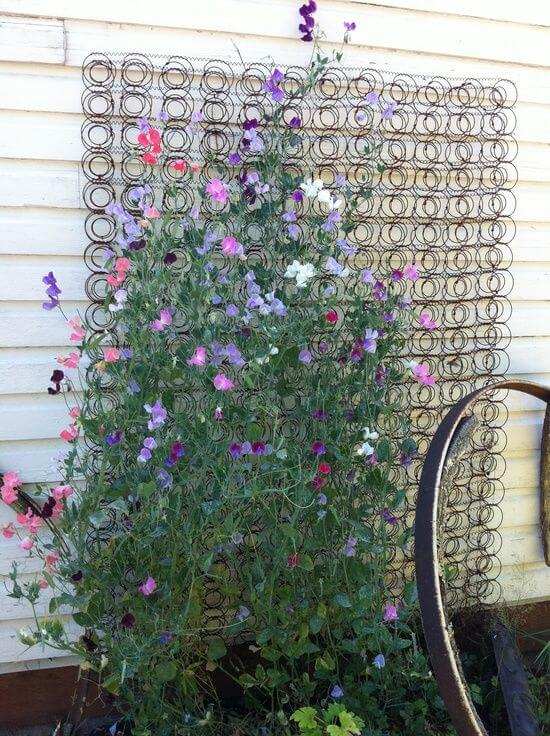 Old bed spring used as a trellis for sweet peas   Up-cycled Trellis Ideas For Garden
