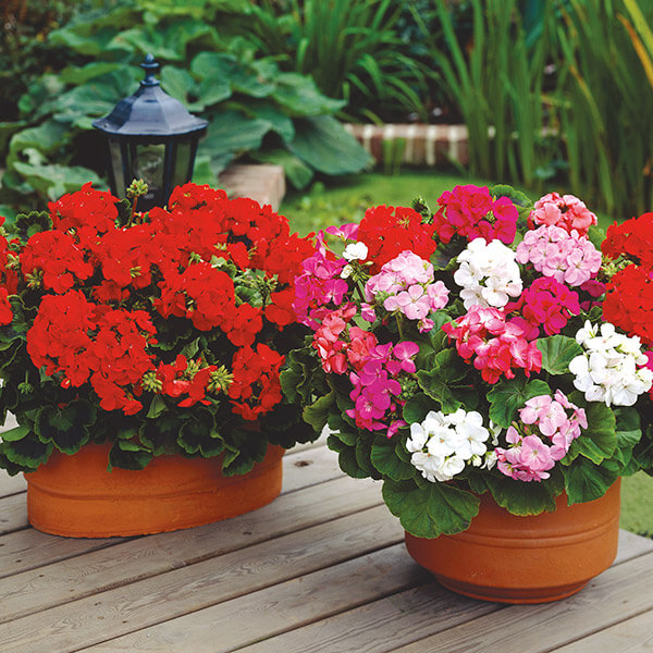 Geraniums are hardy and will tolerate shady areas. Most varieties can be planted all year round in containers or windowboxes and will produce a delightful spring and early summer splash of color.