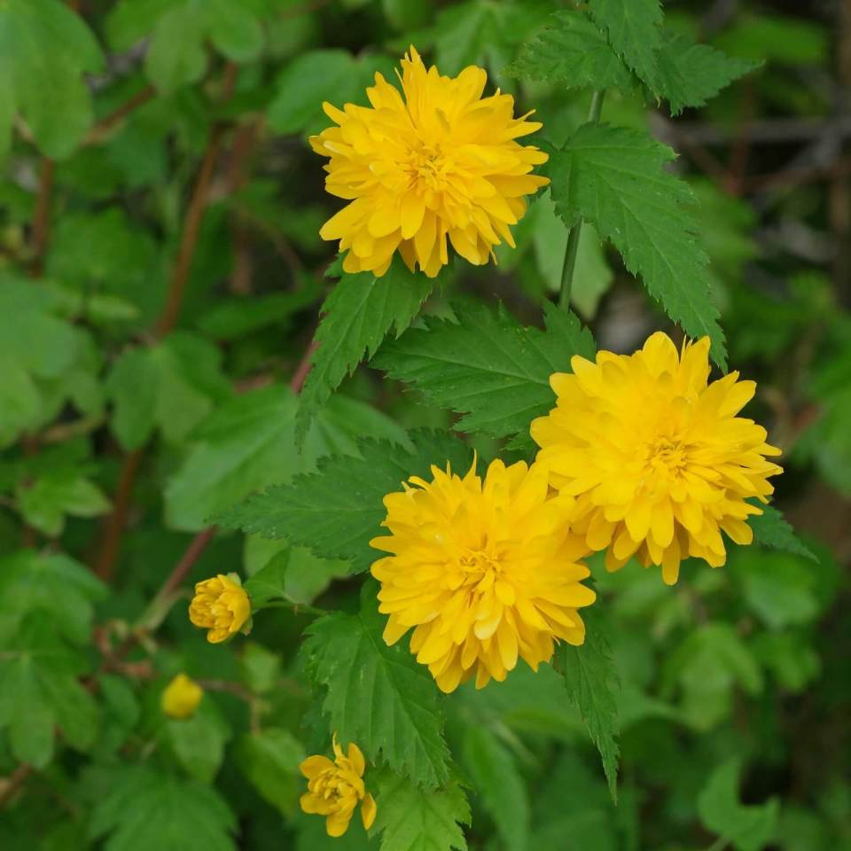 Kerria japonica | Shrubs to Grow in Dry Shade