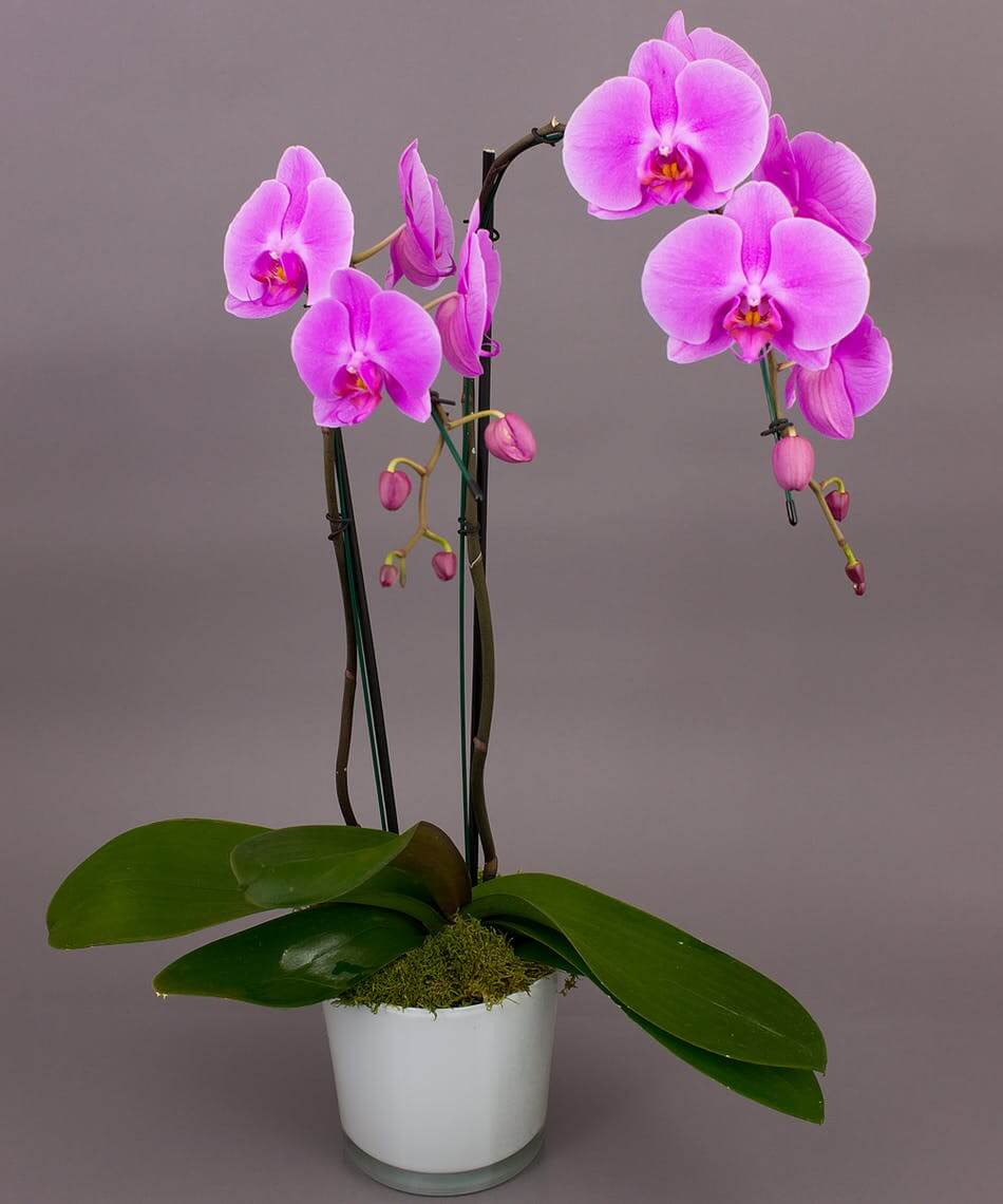 Orchids (Orchidaceae family)