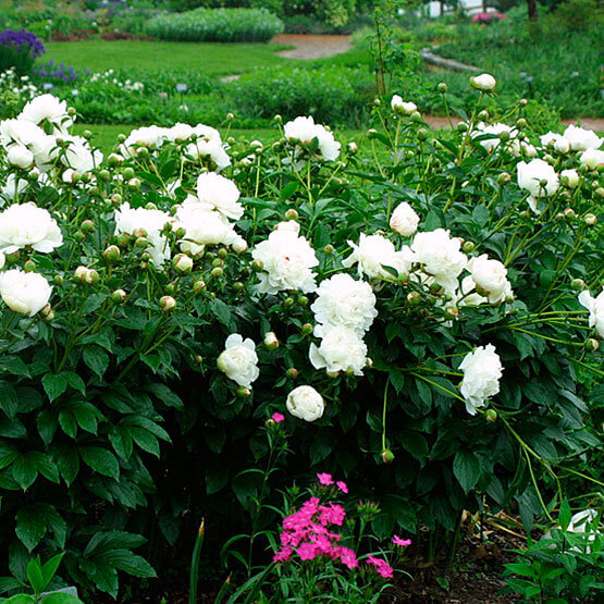 Peony (Paeonia lactiflora) | Fragrant Garden Perennial Plants: Flowering Perennials for a Fragrance Garden