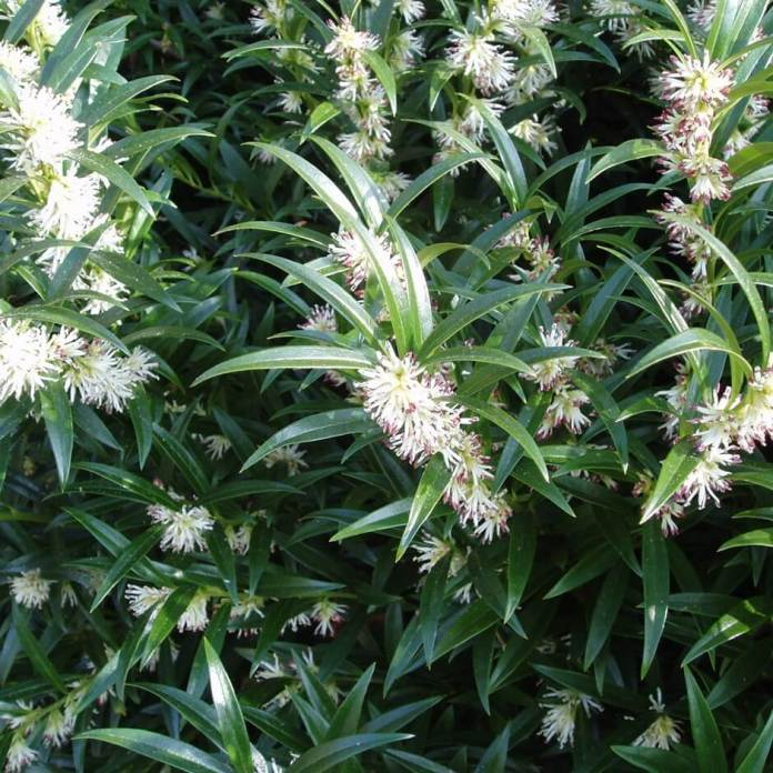 Sarcococca or Christmas Box | Shrubs to Grow in Dry Shade