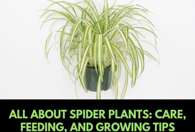 All you need about Spider plants