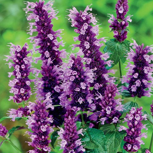 Anise Hyssop (Agastache foeniculum): Garden Herbs that Grow in the Shade