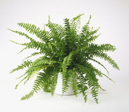 Boston ferns plant