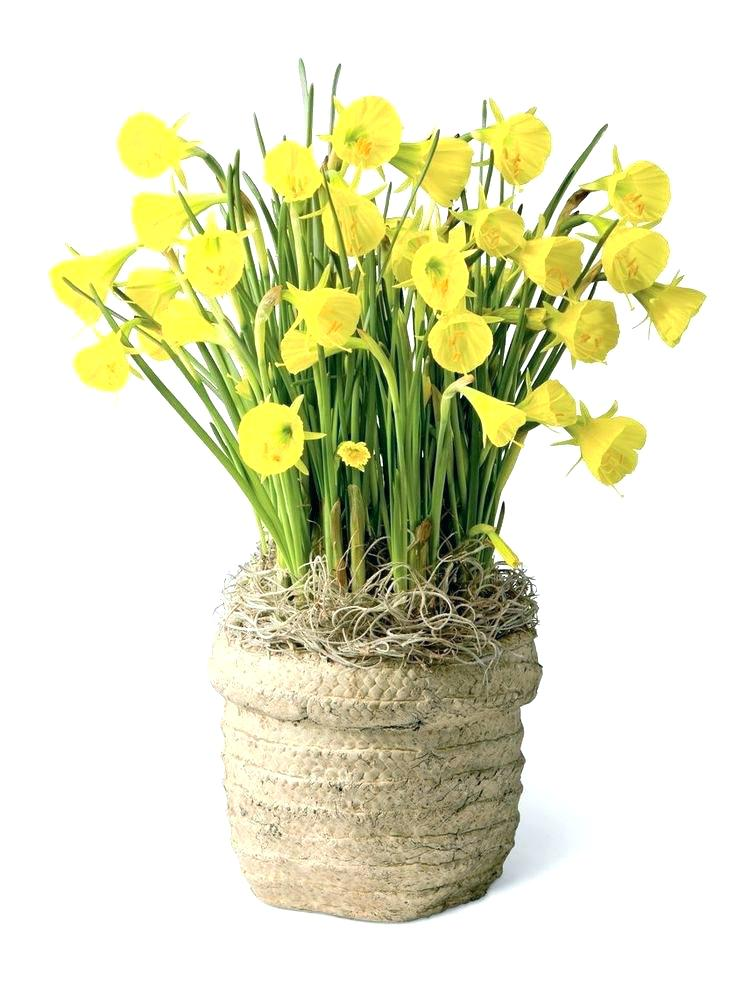 Spring flowering bulbs: daffodils | Winter Flower Garden Indoors: Blooming Plants to Grow In the House during Cold Weather Months | FarmFoodFamily.com