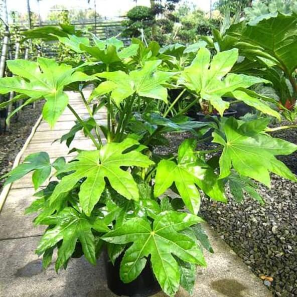 Fatsia japonica or Castor Oil Plant | Shrubs to Grow in Moist Shade