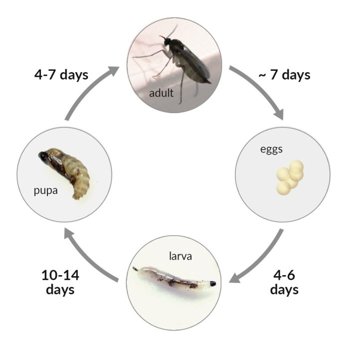 Fungus gnat lifecycle