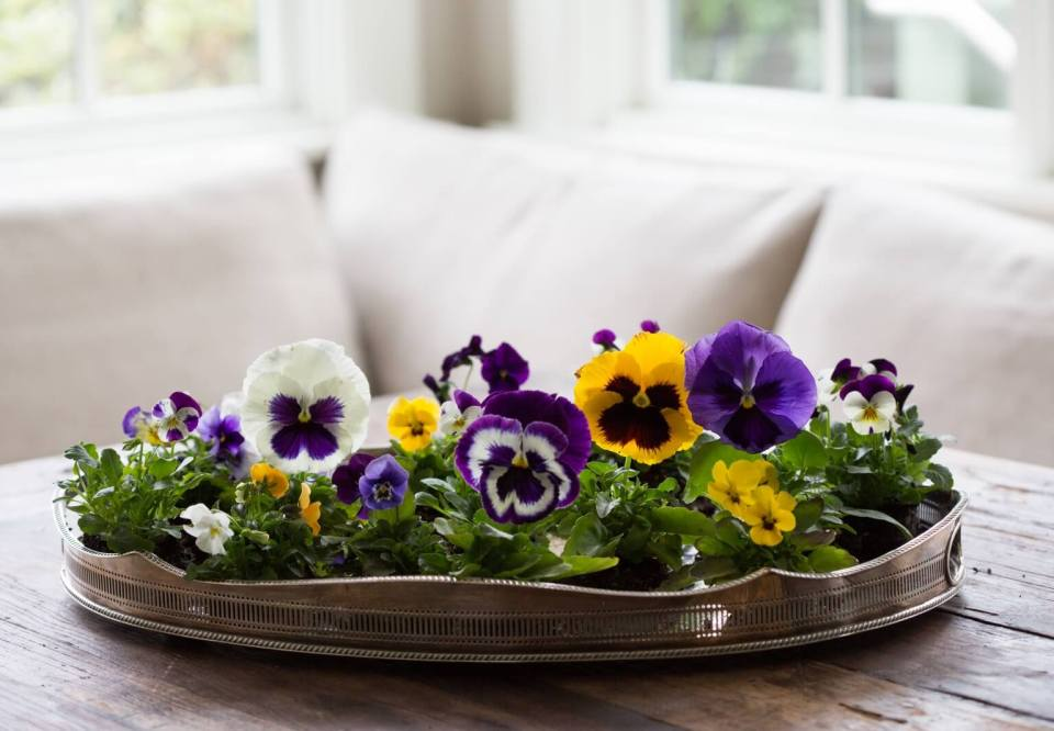 Pansies are hardy annuals that will give a fantastic display in any sort of container or window box. Try planting in something like a small wooden wheel-barrow on a patio, or combine with the ivy in the hanging basket.