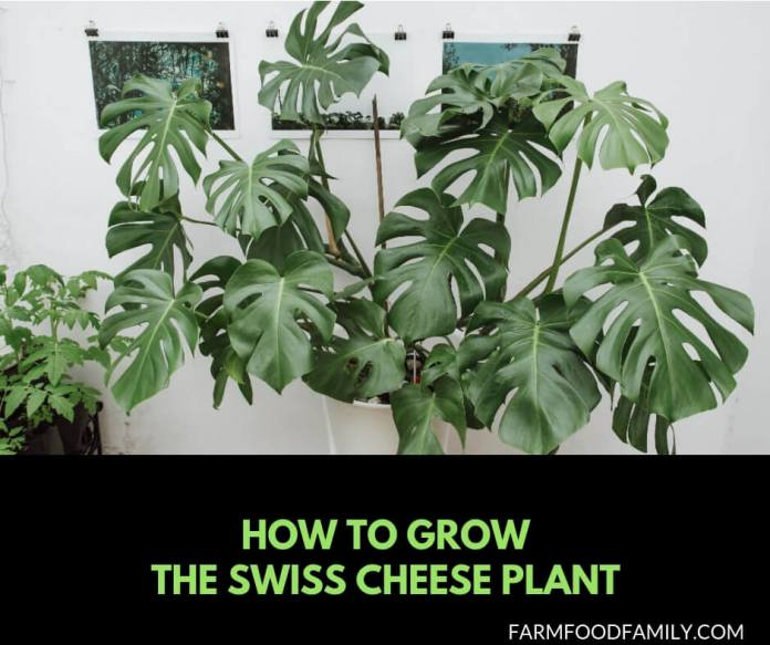 Growing the swiss cheese plant