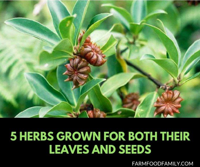 5 Herbs that grown for both leaves and seeds
