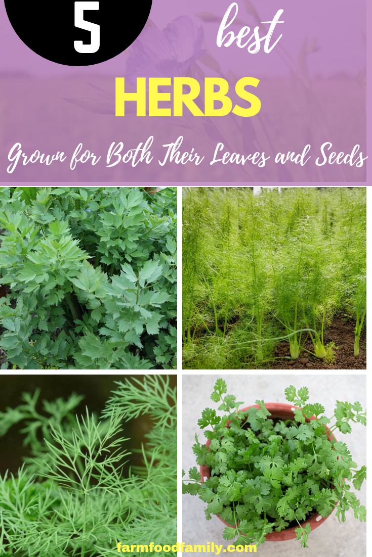 5 Herbs Grown for Both Their Leaves and Seeds: Herbs that Do Double Duty