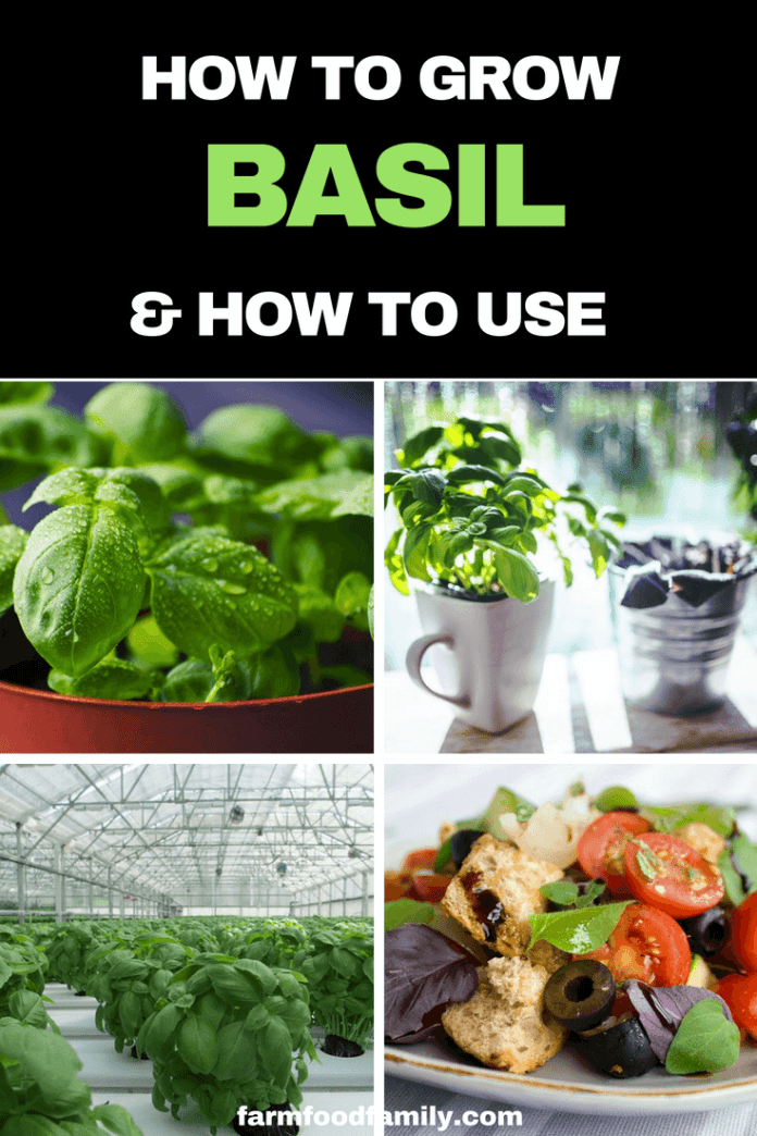 Growing Basil from seed in pots