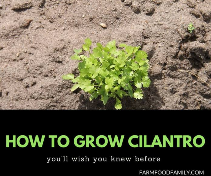 Growing Cilantro from seeds at home